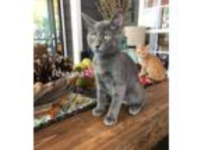Adopt Rhianna a Domestic Short Hair