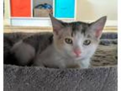 Adopt Zion a Domestic Shorthair / Mixed (short coat) cat in Logan, UT (25822710)