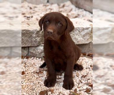 Labrador Retriever PUPPY FOR SALE ADN-125502 - AKC Labradors