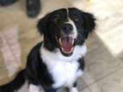 Adopt DODGE a Black - with White Border Collie / Mixed dog in Grand Prairie