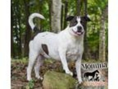Adopt Momma a Black - with White American Staffordshire Terrier / Pit Bull