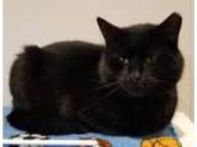 Adopt Escape a Domestic Short Hair