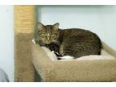 Adopt Willow a Tabby, Domestic Short Hair