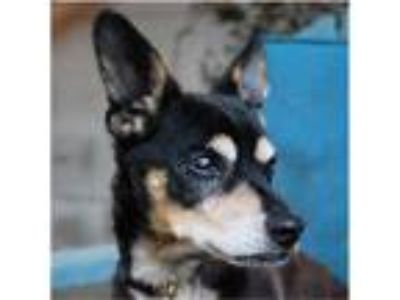 Adopt BOAH a Black - with Tan, Yellow or Fawn Miniature Pinscher / Mixed dog in