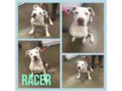 Adopt Racer a Pit Bull Terrier