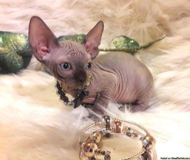 Extremely bold, super loving Sphynx Kittens