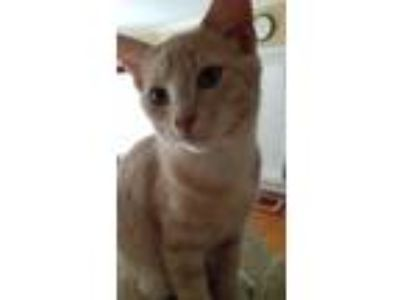 Adopt Bud a White Domestic Shorthair / Mixed cat in Youngsville, NC (25860743)