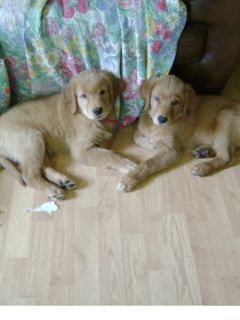 Golden Retriever PUPPY FOR SALE ADN-88453 - PURE GOLDEN RETRIEVER PUPPIES AVAILABLE ON SEP 26