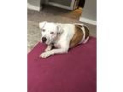 Adopt Coco a White - with Tan, Yellow or Fawn American Pit Bull Terrier dog in