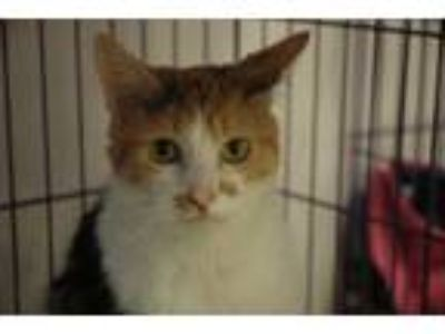 Adopt Ducky a Orange or Red Domestic Mediumhair / Mixed (medium coat) cat in
