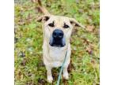 Adopt Lady a Labrador Retriever, Great Dane