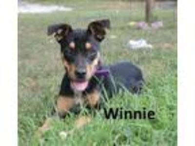 Adopt Winnie a Black - with Tan, Yellow or Fawn Shepherd (Unknown Type) /