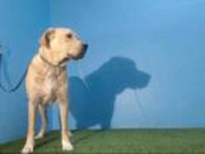 Adopt BEETHOVEN a Tan/Yellow/Fawn - with White Labrador Retriever / Mixed dog in
