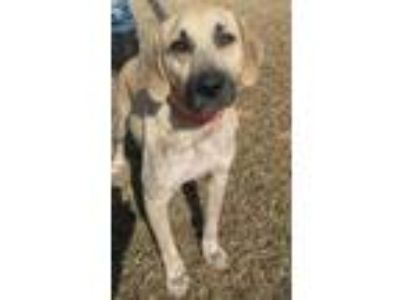 Adopt Bonnie a White - with Red, Golden, Orange or Chestnut Black Mouth Cur /