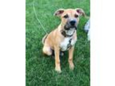 Adopt Marcus a Tan/Yellow/Fawn Labrador Retriever / Hound (Unknown Type) / Mixed