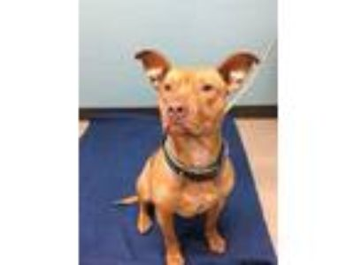 Adopt Sky a Red/Golden/Orange/Chestnut Mixed Breed (Large) / Mixed dog in