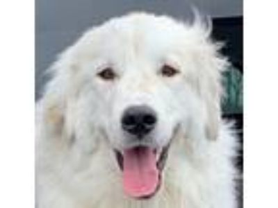 Adopt Woody a Great Pyrenees
