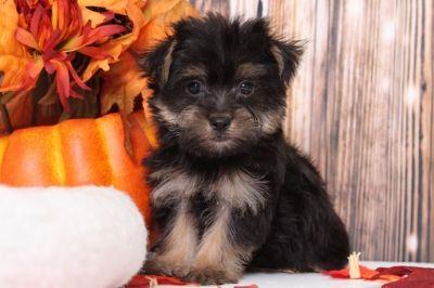 Morkie PUPPY FOR SALE ADN-104948 - Maggie Darling Little Female Morkie Puppy