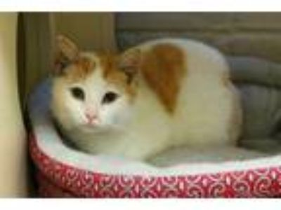 Adopt TURK a White (Mostly) Turkish Van / Mixed (long coat) cat in Louisville