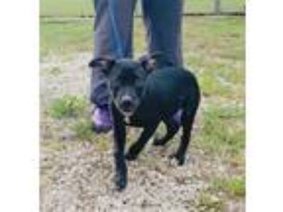 Adopt Clementine a Pit Bull Terrier / Mixed dog in Kingsland, GA (25865317)