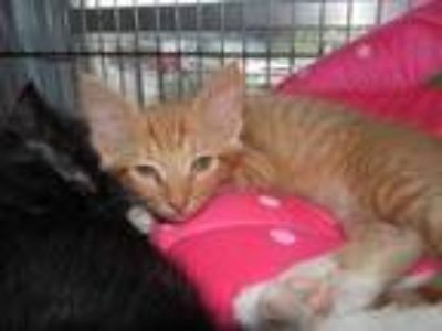 Adopt TOBY a Orange or Red Domestic Shorthair / Domestic Shorthair / Mixed cat