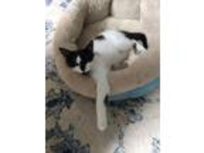 Adopt Davinci a Black & White or Tuxedo Domestic Shorthair (short coat) cat in