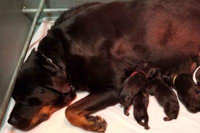 German bloodline Rottweiler Puppies