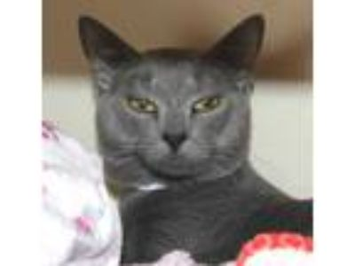 Adopt Mariner a Gray or Blue Domestic Shorthair / Domestic Shorthair / Mixed cat