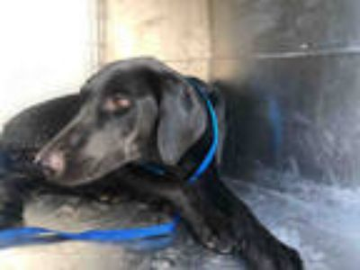 Adopt ZOEY* a Black Labrador Retriever / Mixed dog in Garland, TX (25908828)