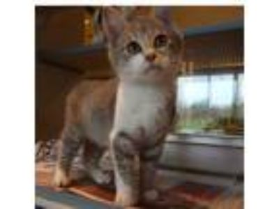 Adopt Britian a Gray or Blue Domestic Mediumhair / Domestic Shorthair / Mixed