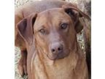 Adopt Monday a Red/Golden/Orange/Chestnut Catahoula Leopard Dog / Mixed dog in