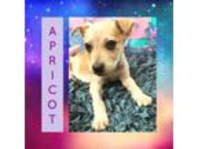 Adopt Apricot a Shepherd (Unknown Type) / Mixed dog in Littleton, CO (24663157)