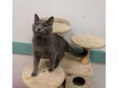 Adopt Buitoni a Gray or Blue Russian Blue (short coat) cat in South Bend