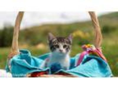 Adopt Stacey a All Black Domestic Shorthair / Domestic Shorthair / Mixed (short