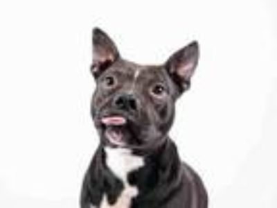 Adopt BOGOTA a Pit Bull Terrier, Mixed Breed