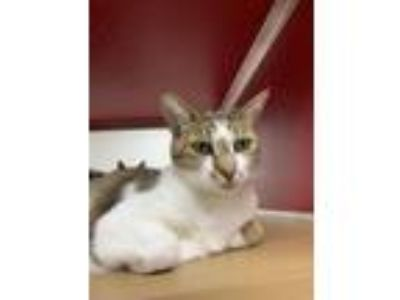 Adopt Oscar a Domestic Short Hair