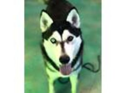Adopt Sir Woo a Black - with White Siberian Husky / Mixed dog in Guthrie