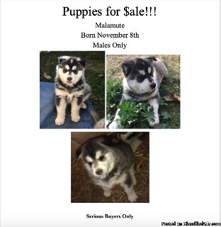 Malamute Puppies for Sale!