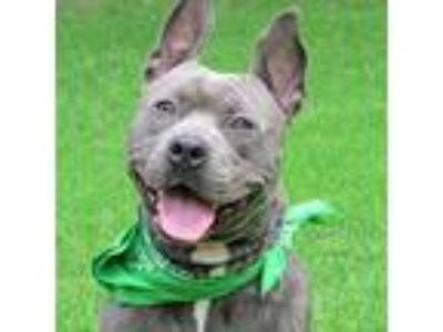Adopt Rey a American Staffordshire Terrier / Mixed dog in Raleigh, NC (25352043)