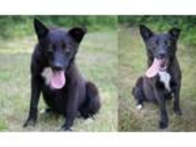 Adopt Kenai a Black Labrador Retriever / Dutch Shepherd / Mixed dog in