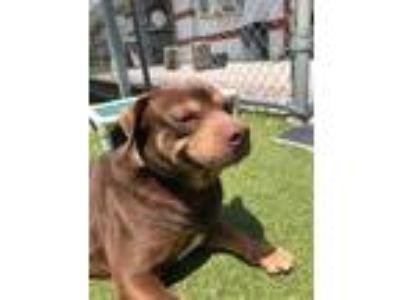 Adopt Thor a Mixed Breed, Rottweiler