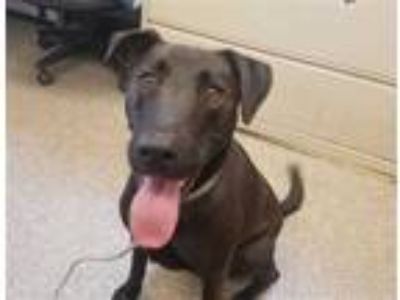 Adopt DAISY a Black Labrador Retriever / Mixed dog in San Luis Obispo