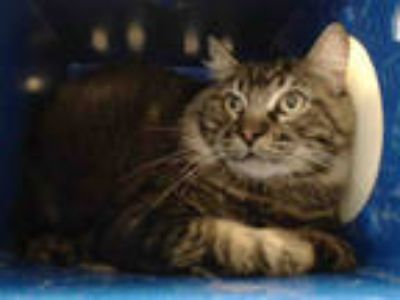 Adopt LOUIE a Brown Tabby Maine Coon / Mixed (long coat) cat in Downey