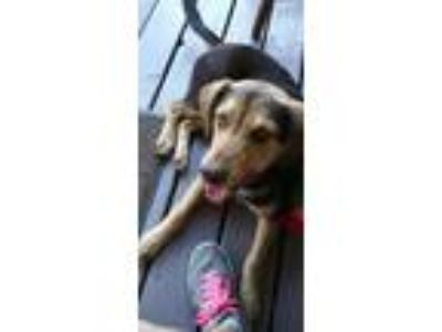 Adopt Bandit a Brown/Chocolate - with Tan German Shepherd Dog / Rottweiler dog