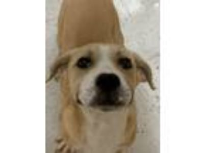Adopt JEB SB a Labrador Retriever, Great Pyrenees