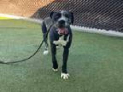 Adopt JUNE a Great Dane