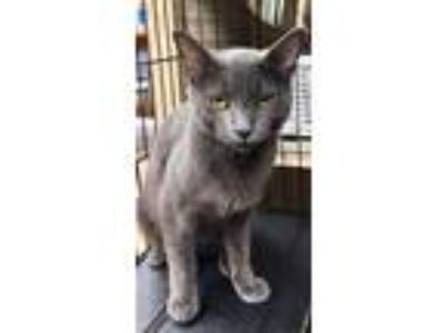 Adopt Selkie a Gray or Blue Russian Blue / Domestic Shorthair / Mixed cat in