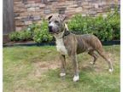 Adopt FLYNN a Pit Bull Terrier, Mixed Breed