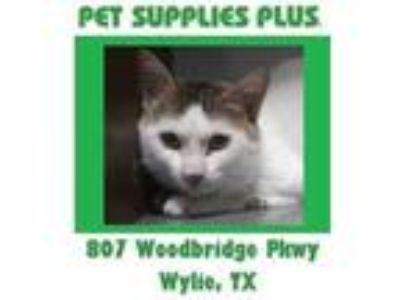 Adopt Handsome a White Domestic Shorthair / Domestic Shorthair / Mixed cat in