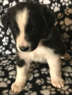 Australian Shepherd PUPPY FOR SALE ADN-96608 - Black Tri Male